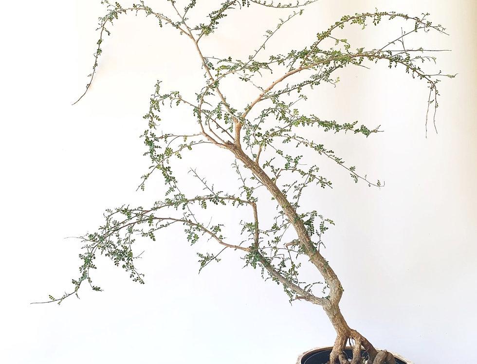 Large Operculicarya decaryi