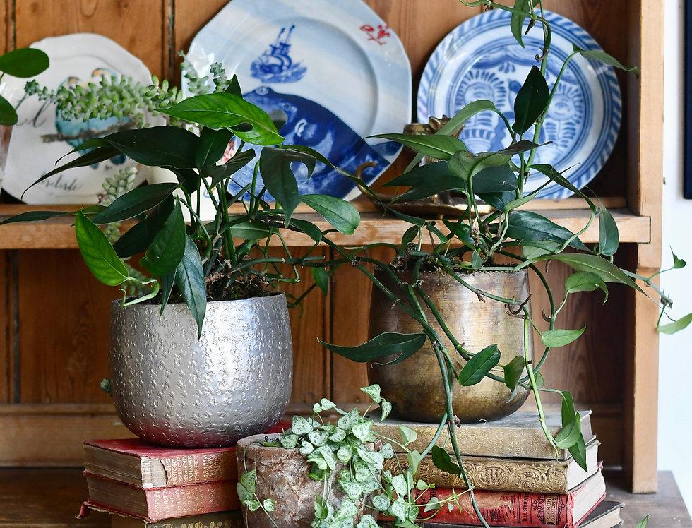 Epipremnum Pinnatum *rare* (Cebu Blue)