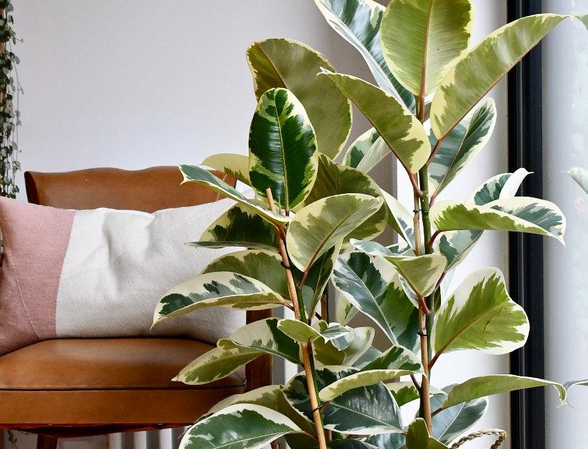 Ficus Tineke - Rubber Tree 90cm