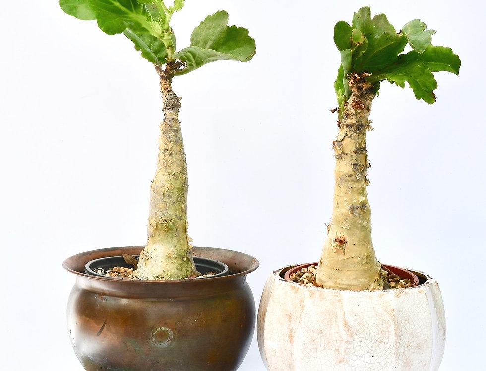 Large Cyphostemma juttae - Goliath Caudex Plant