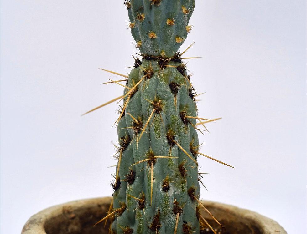 Miqueliopuntia