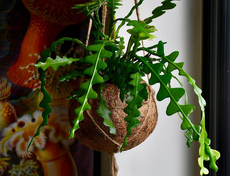 Epiphyllum Anguligar in Kokadama