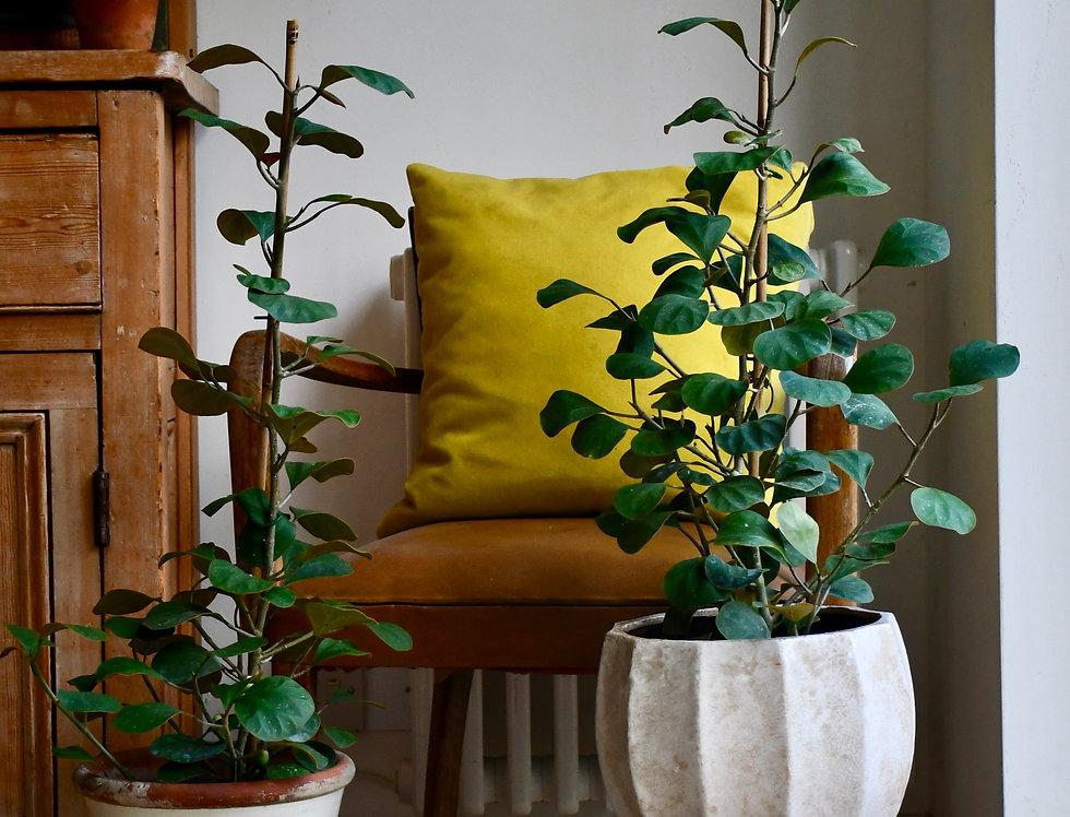 Ficus Deltoidea Olive