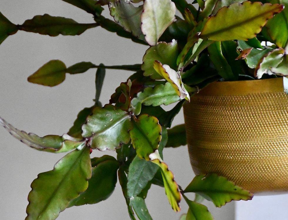 Rhipsalis Elliptica *rare*