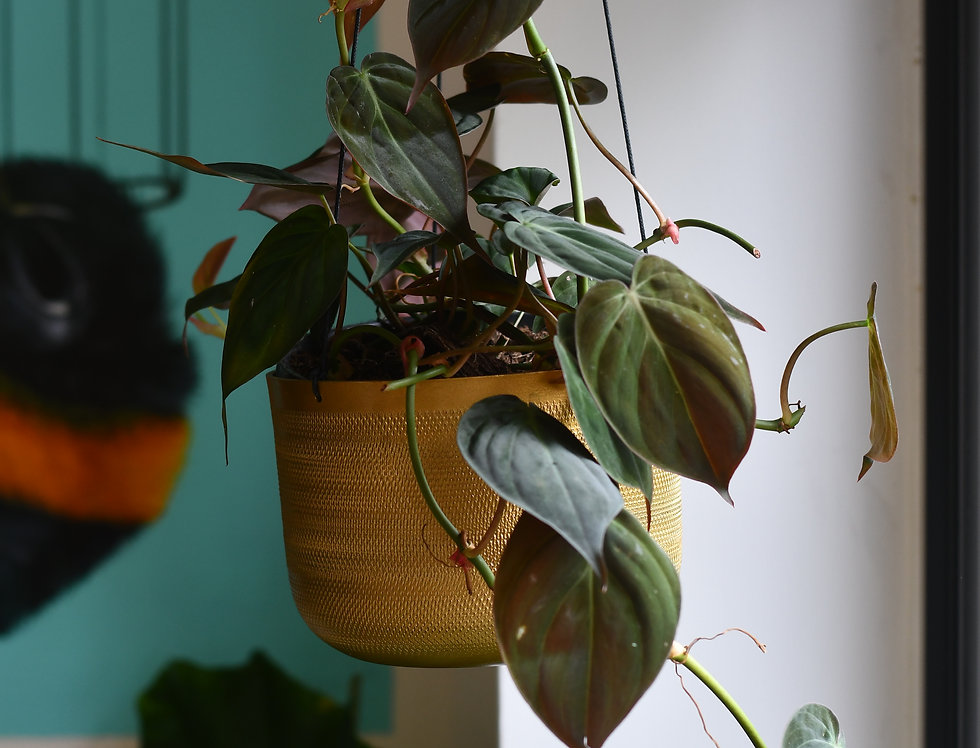 Philodendron micans - Hanging Pot