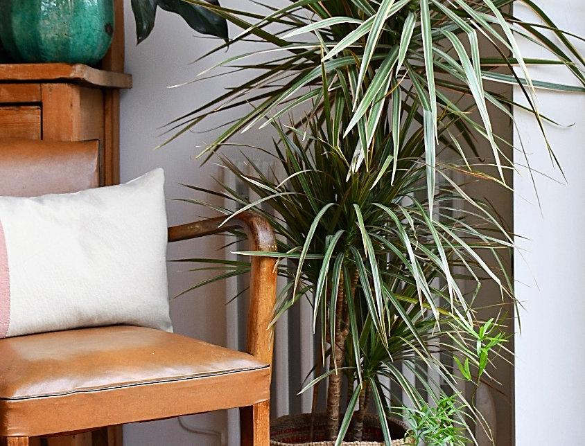 Dragon plant - Dracaena Fragrans - Narrow Leaf,