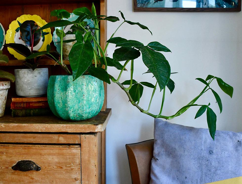 Syngonium Podophyllum - Tri leaf wonder  15cm x 50cm