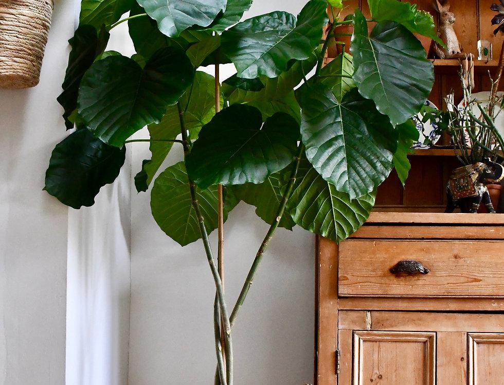 Ficus Umbellata Tree *Rare*