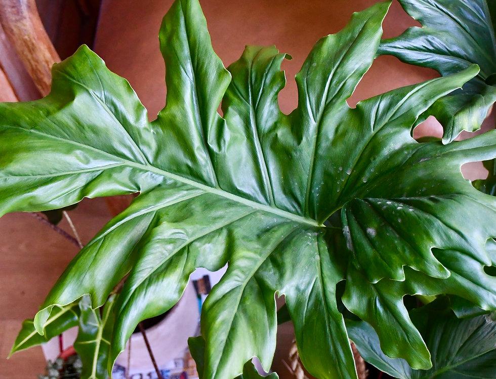 Philodendron bipinnatifidum or selloum 'Cum Laude'