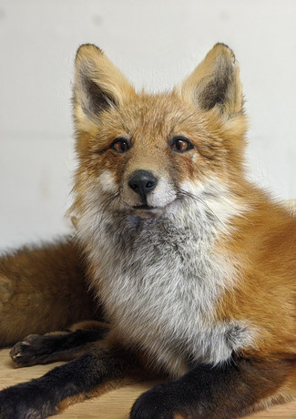 Close up of Taxidermied Fox