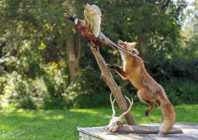 Fox Chasing Pheasant Taxidermy Full Display