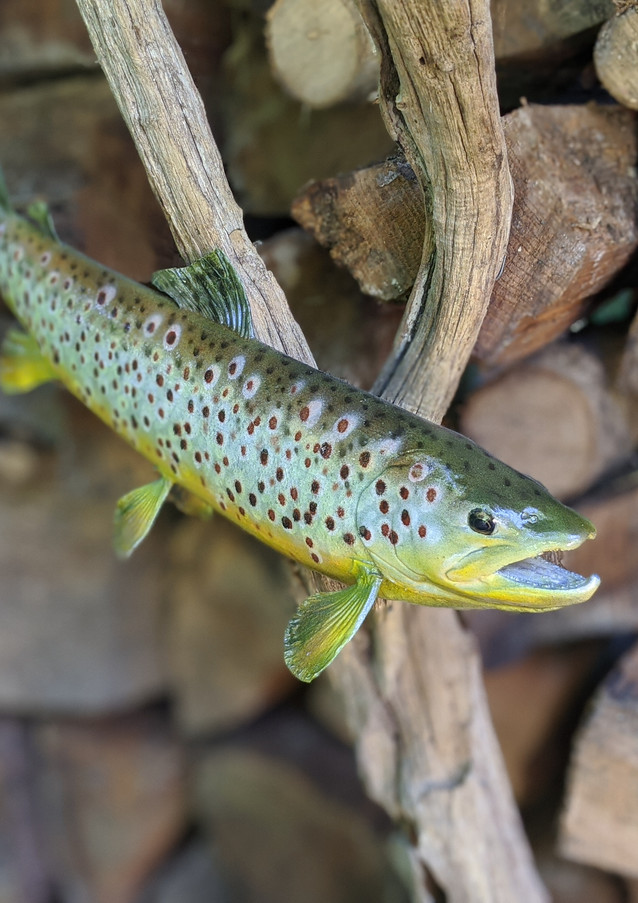 Trout Taxidermy on Wood Mount