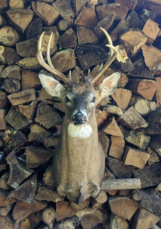 Whitetail Deer 8 Point Buck Traditional Shoulder Mount