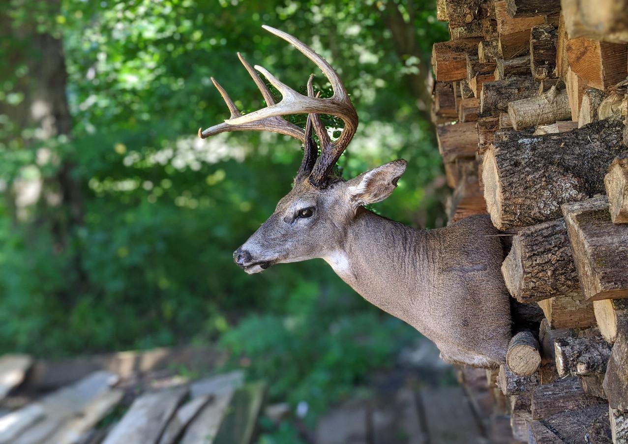 Whitetail Buck Shoulder Mount