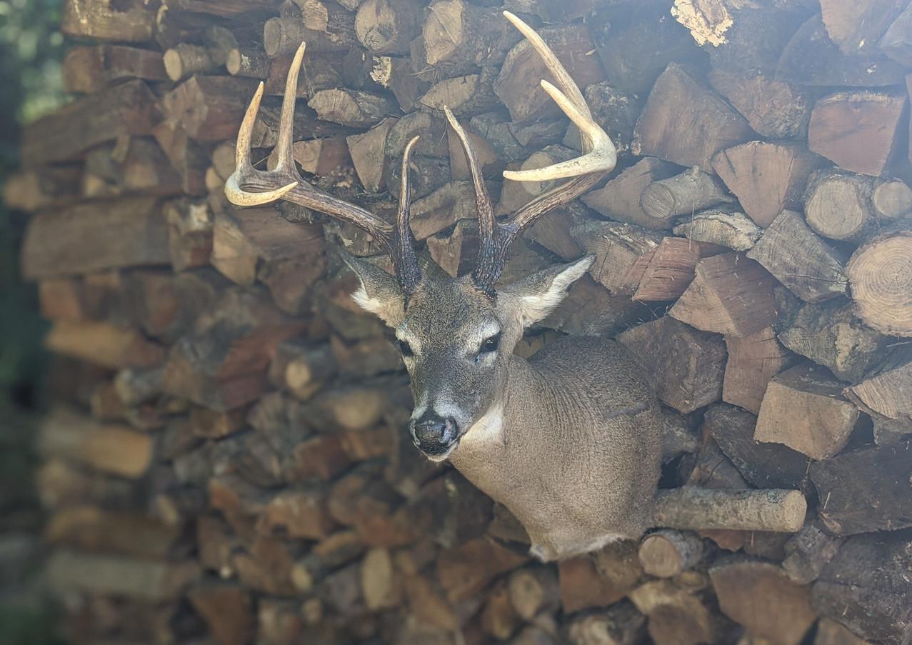 Whitetail Big 8 Point Buck Turned Shoulder Mount