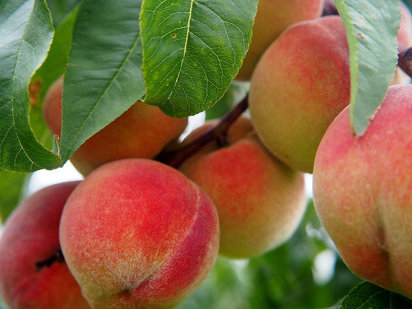 Canva - Peach Fruits Hanging from the Tr