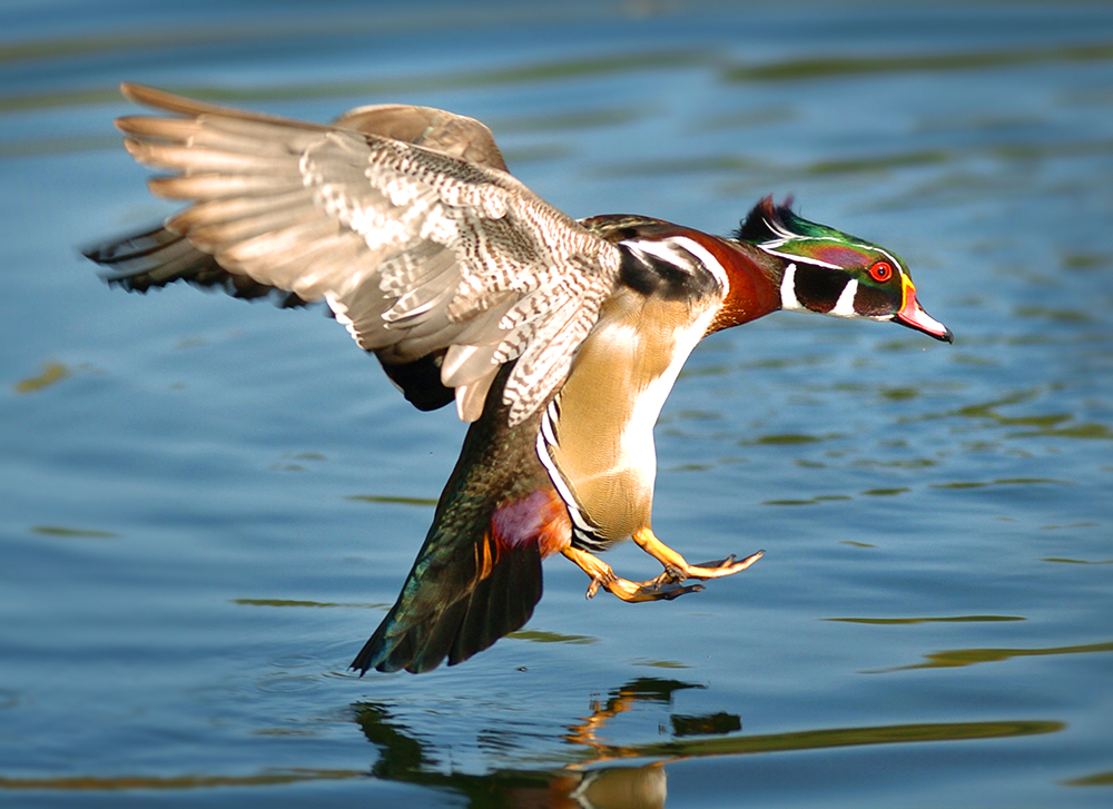 Wood Duck Splashdown