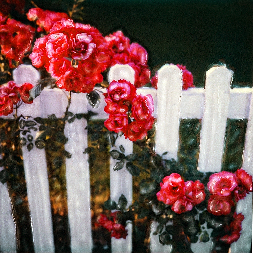Roses and Fence