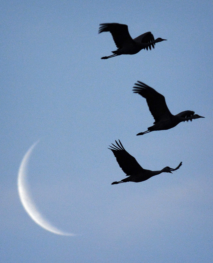 Cranes and Moon