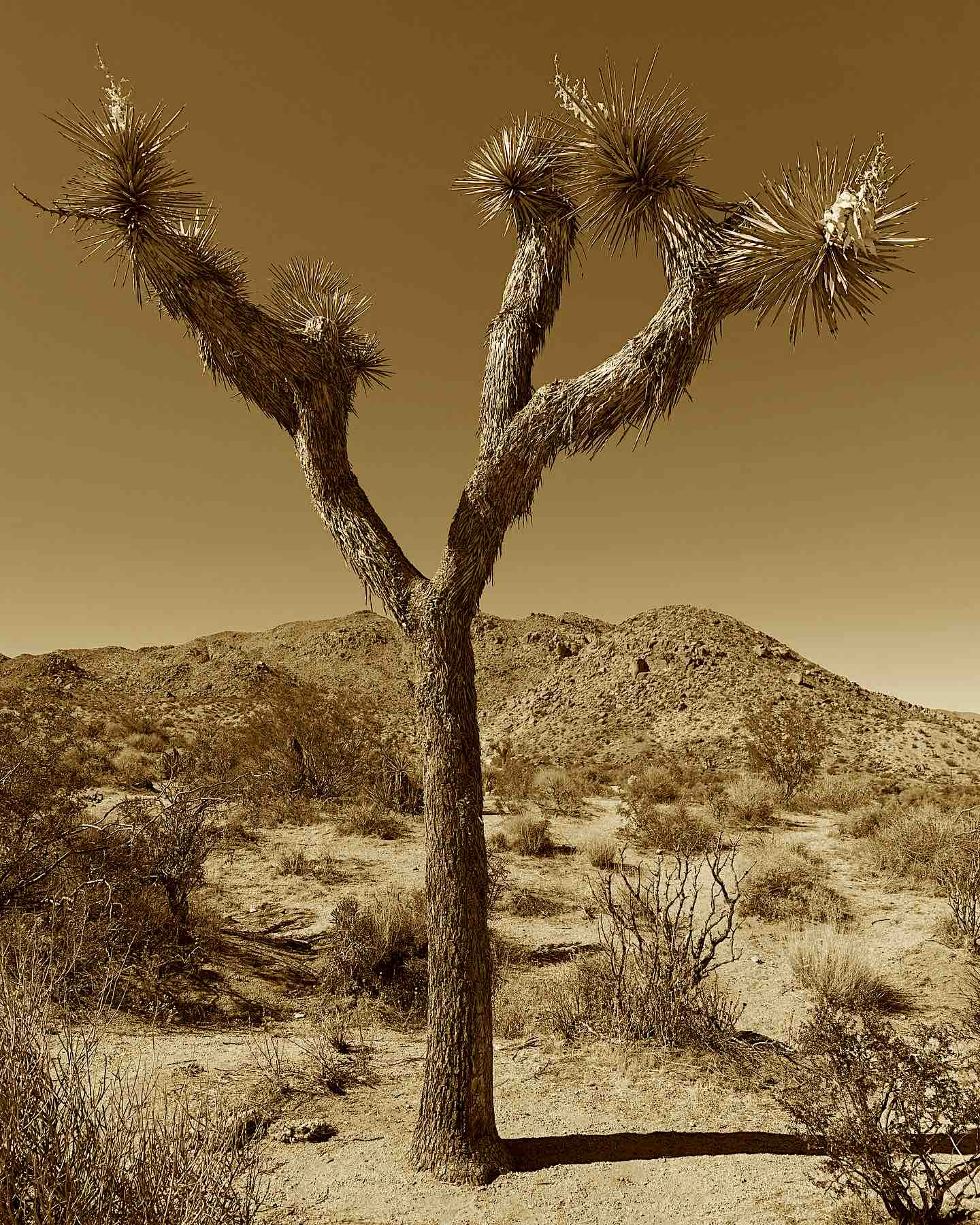 Joshua Tree Sepia
