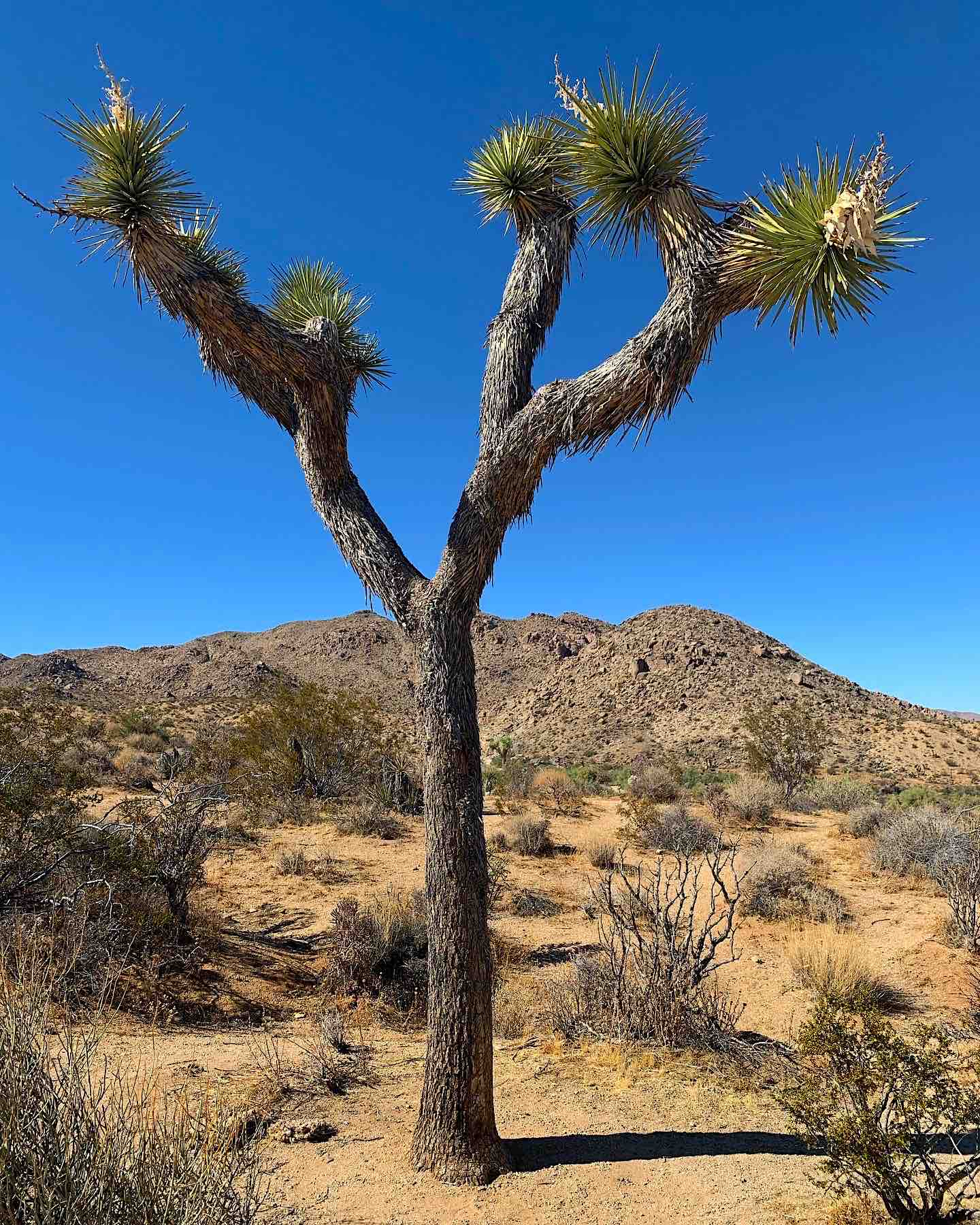 Joshua Tree Color