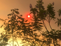 Forest Sunfire