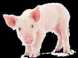 Pig Piglet