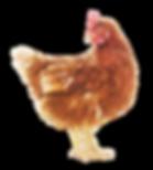 Chicken Blank Background