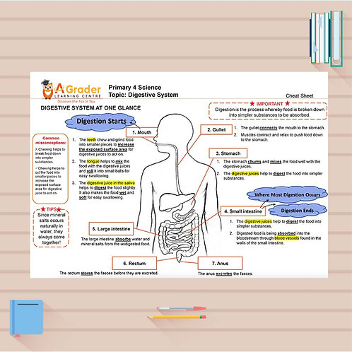 P4 Science Cheat Sheet - Digestive System