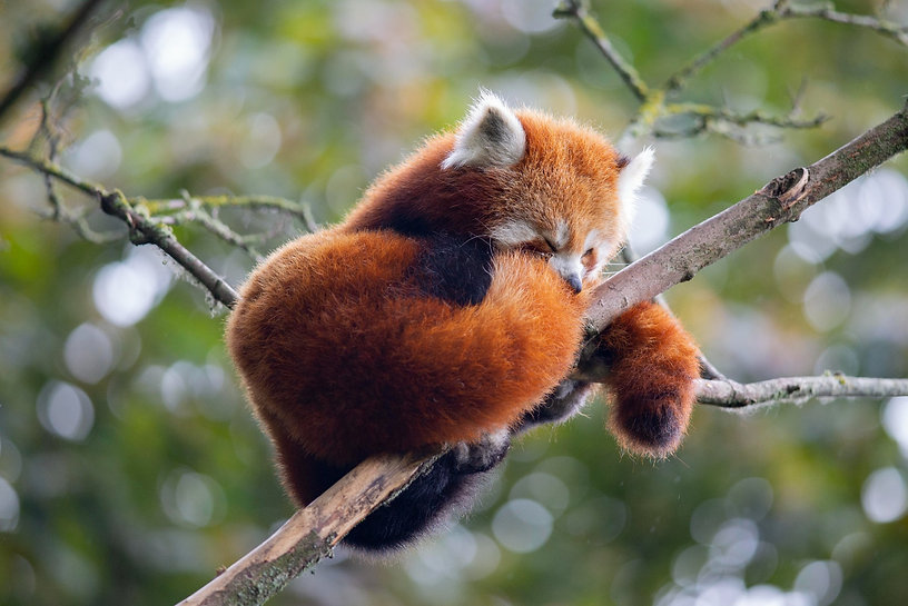 red panda SMALL.jpg