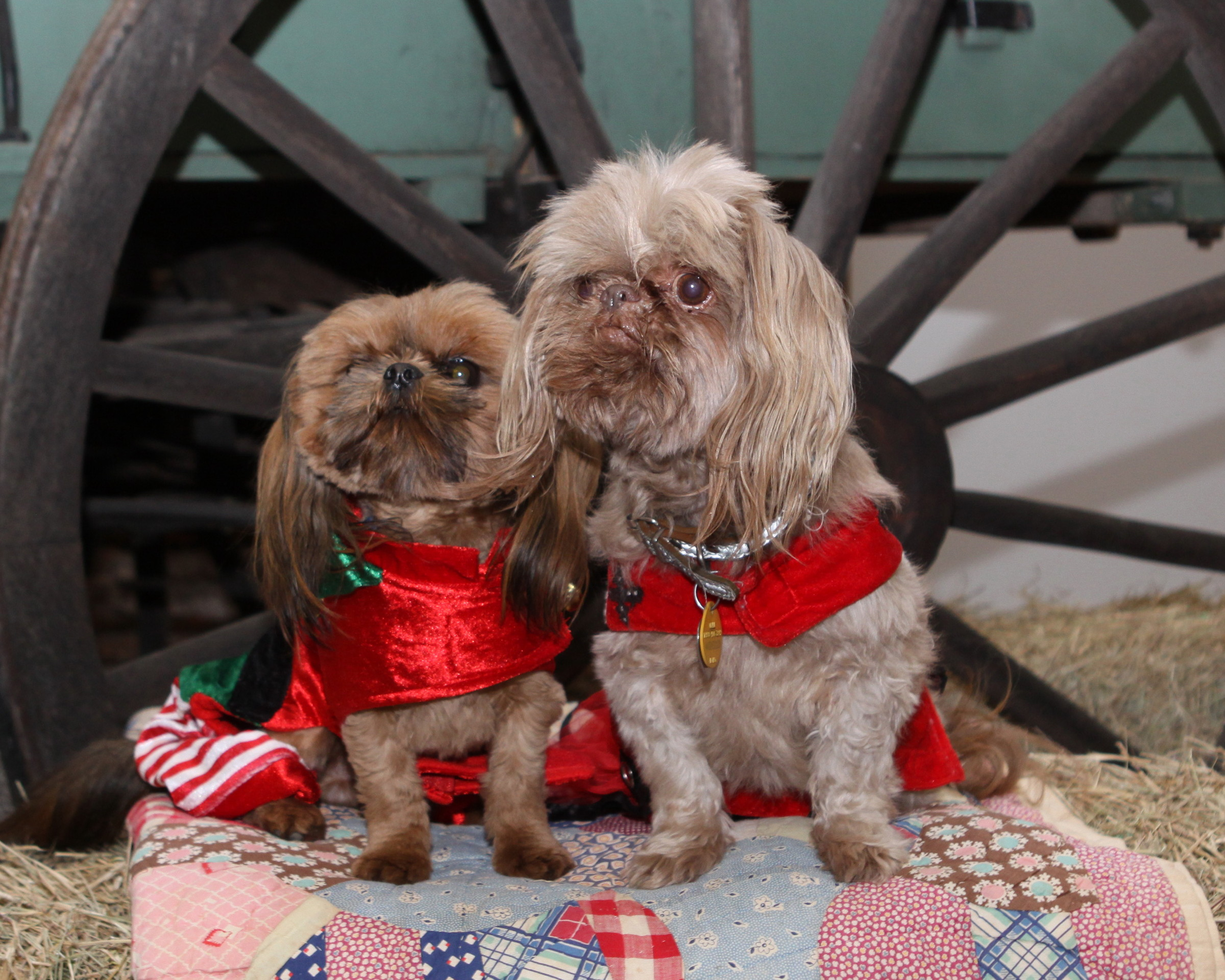 Shih Tzu Puppies   United States   Painted Dreams Farm & Kennel