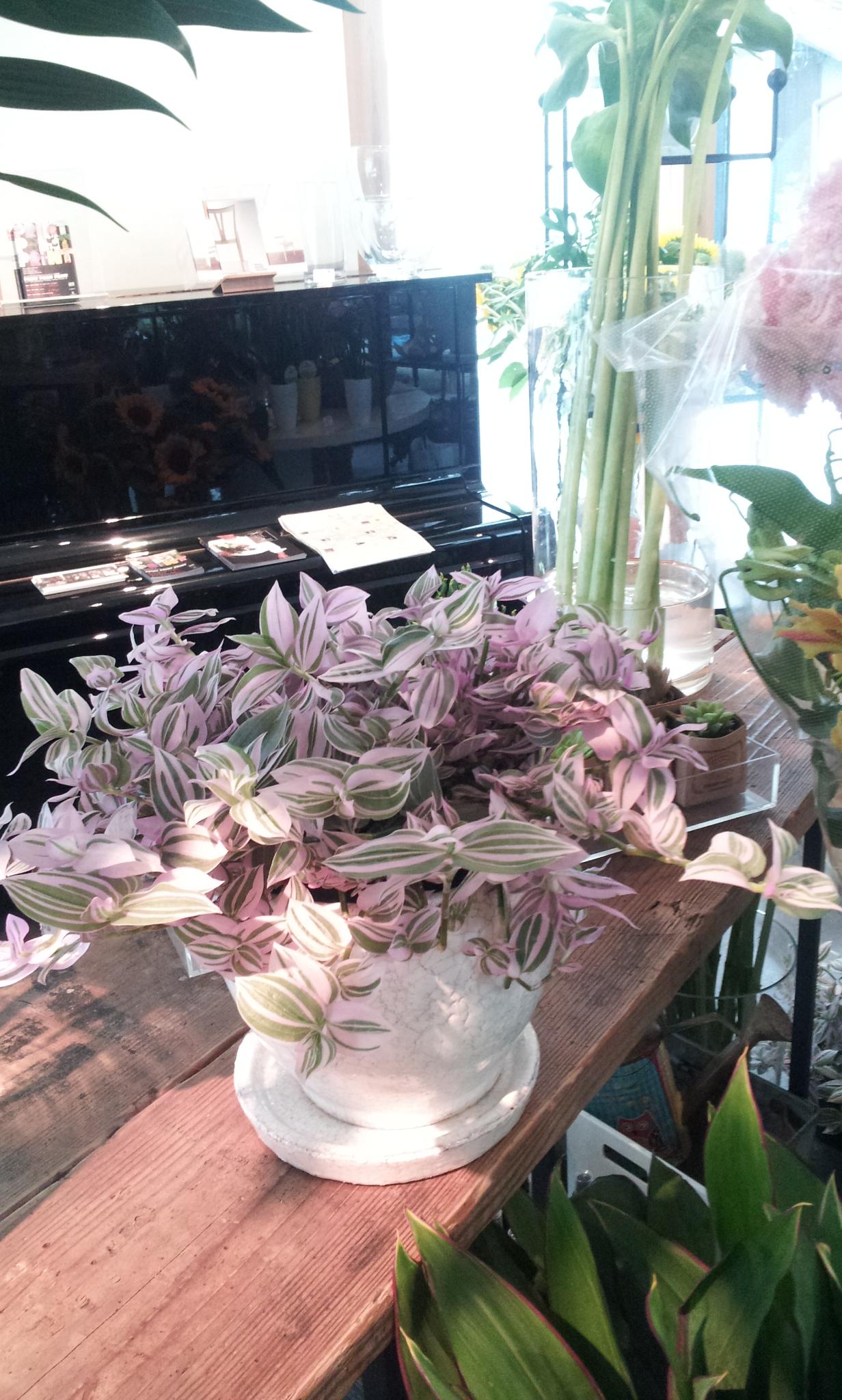 Lavender Jowel