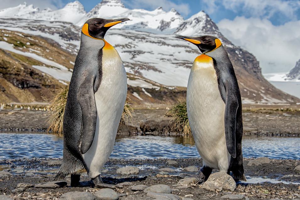 Meeting, King Penguins