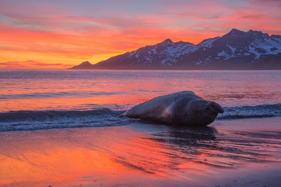 Elephant Seal at dawn