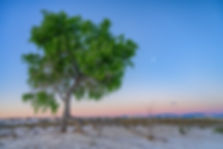 Sunrise, tree and moon,White Sands, New Mexico