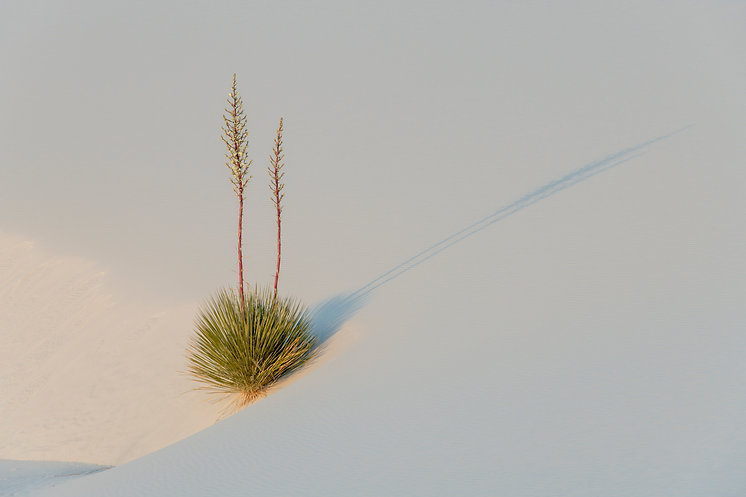 Yucca plant, White Sands