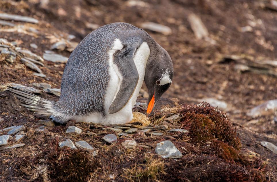 Gentoo Penguin and her egg