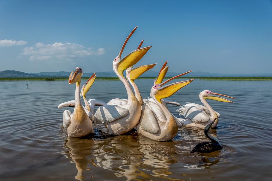 White Pelicans, Ethiopia