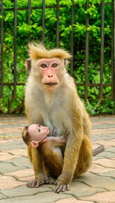 Macaque mom