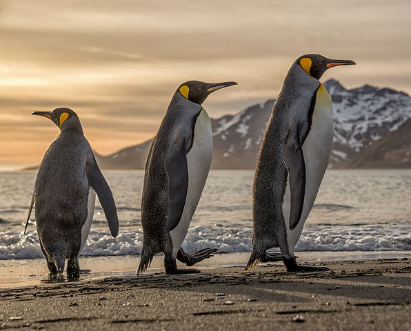 King penguin,SouthGeorgia Island, sunrise