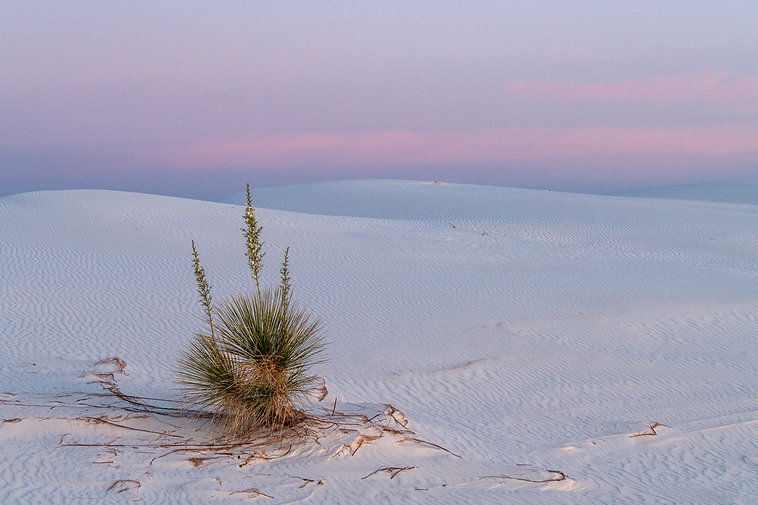 White Sands, New Mexico, Yucca plant.