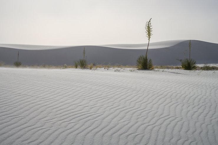 Yucca plants, Sand dunes, New Mexico