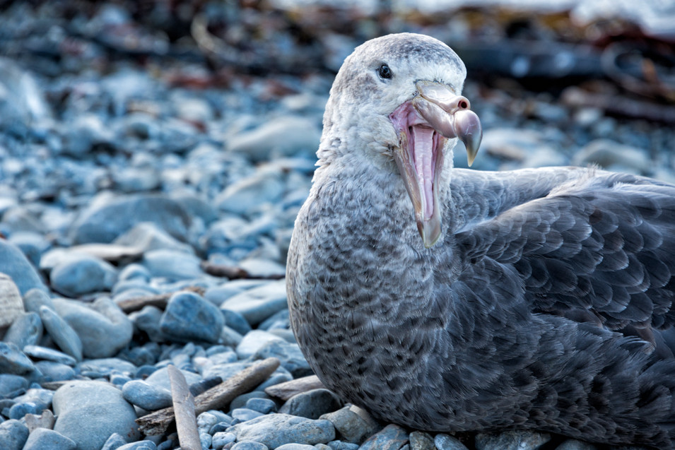 Giant Northern Petrel