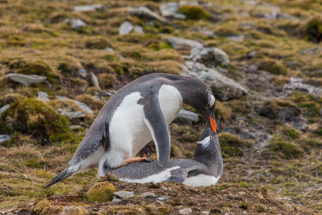 Gentoo Penguin mating