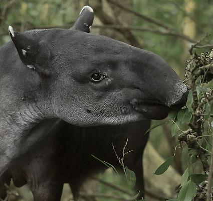 Tapir-2.jpg