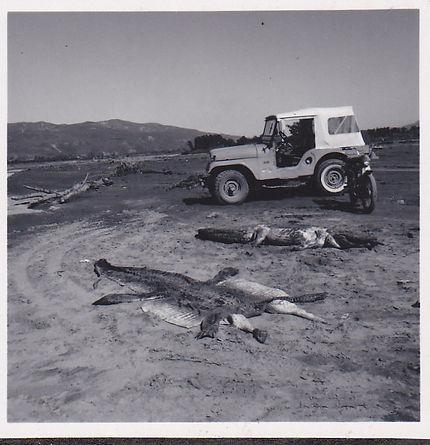 1969 March 2 dead crocs.jpg