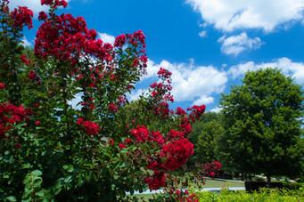 Red Flowers (0396).jpg