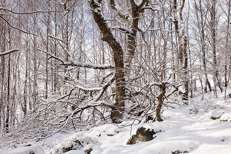 Bolehill Wood