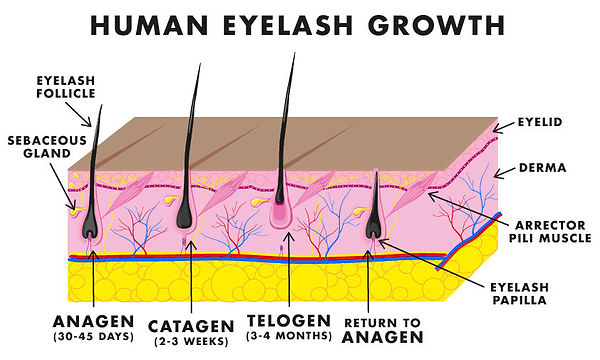 Lashes_IL_September_diagram-01.jpg