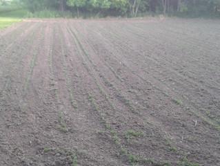 Eagle Forage Soybeans vs Ag Beans - Full growing season comparison.